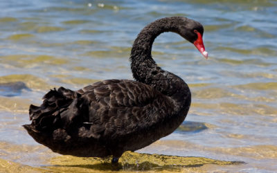 How To Ride A Black Swan